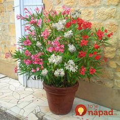 Best Flower and Plants selection in UK - New Oleander Tricolour plant - 3 colours in one pot tall at YouGarden - Delivered within 5 days depending on the Plant state Weird Plants, Oleander, Pretty Plants, Plants, Container Plants, Oleander Plants, Amazing Flowers, Container Gardening, Indoor Plants
