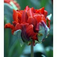 Tulipano Rococo Doppio