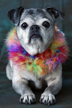 Ashley, age 14, loves posing for me and willingly allows me to dress her up! She'll do just about anything for a treat. :)