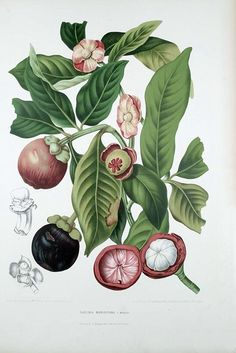 Artist and author Berthe Hoola van Nooten traveled the world in search of exotic plants to depict in drawings and paintings. This example is a purple mangosteen from her 1880 book Fleurs, Fruits et Feuillages. Botanical Drawings, Botanical Prints, Botanical Gardens, Linocut Prints, Poster Prints, Art Prints, Impressions Botaniques, Kokum Butter, Illustration Botanique