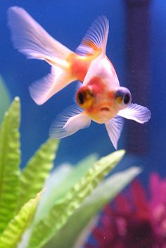 Telescope Eye Goldfish Wanted to get one of these, but picked Black Moors instead, ah well. Love my goldies! <3
