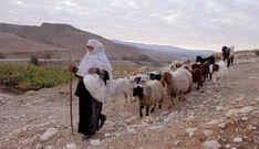 Sheep of biblical Isreal   The Desert Shepherd - Tom Graffagnino