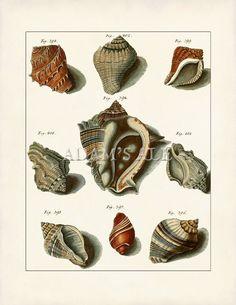 Antique Conch, Tulip And Drill Seashells Print - Art Poster - Giclee Print - Beach House Decor - Scientific Illustration  Art Print (GS4)