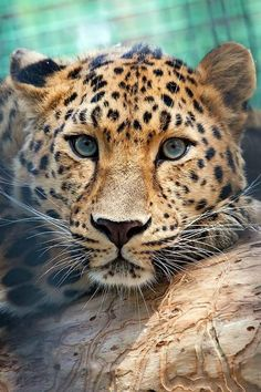 Ocelot cat is an exotic wild cat with its origins in South America, although these cats can be found even in states like Texas. Ocelot cats are. Nature Animals, Animals And Pets, Cute Animals, Beautiful Cats, Animals Beautiful, Gorgeous Eyes, Gato Grande, Amur Leopard, Leopard Cat