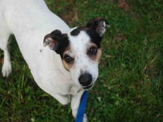 Neely is a cute jack russell terrier at our Cape Cod She is a friendly little 6 year old. She likes to play with toys and loves to be active - terriers are an on-the-go type and she is the epitome of that. Neely is housetrained and has good house manners. #dogs #adopt #pets