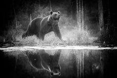 - Bear with Reflection by Alexandr Sanin 500px