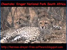 Cheetahs resting in shade Kruger National Park in South Africa