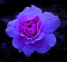 Fatin Nabila::.: The Meaning of Different Colour Roses