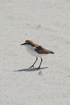 Red-capped Plover (Charadrius ruficapillus) By Noel Reynolds©