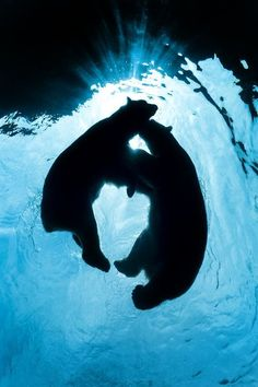 Koda and Kobe, the Pittsburgh Zoo's two polar bears, play and wrestle, above the underwater tunnel.