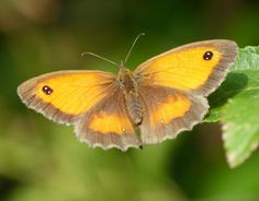 Gate-keeper (Pyronia tithonus) - Flickr - Photo Sharing!