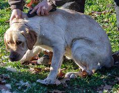 Csutakolásra váró vakvezető kutya tanuló :)
