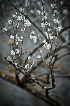 Plum Blossoms Kyoto Japan Takeshi Hata on In Praise Of Shadows, Gardens Of The World, Japanese Flowers, Street Art, Kyoto Japan, Japanese Beauty, Japanese Culture, Amazing Flowers, Beautiful Gardens