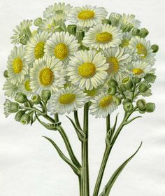 http://wordplay.hubpages.com/hub/vintage-flowers - Daisies