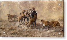 The Take Down - Lions Attacking Cape Buffalo Art Print by Alan M Hunt Wildlife Paintings, Wildlife Art, Animal Paintings, Animal Drawings, Buffalo Painting, Buffalo Art, Big Cats Art, Cat Art, Lion Wall Art