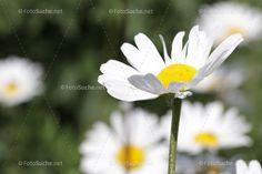 Blumen Margeriten Frühling
