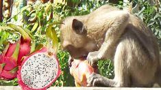 Monkeys Eating Dragon Fruit (Pitaya) – Monkeys Natural Life & Daily Action Of Monkeys 2018 – Part 33