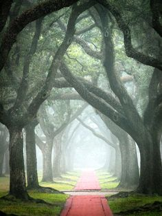 A foggy morning under the live oak trees in Houston, Texas