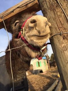 Teri Kraizy Munky Donkey Funny, Cute Donkey, Mini Donkey, Burritos, Horse Love, Donkeys, Make You Smile, Beautiful Creatures, Farm Animals