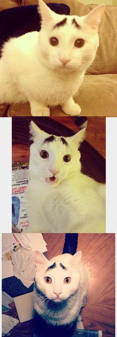 eyebrows cat