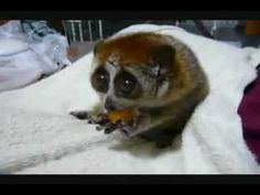 slow loris cuteness