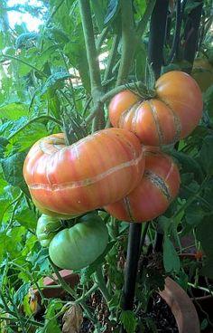 Blütenendfäule, Platzen und Grünkragen bei Tomaten haben mit dem Gießen zu tun | tinto bloggt Pumpkin, Vegetables, Dyes, Plants, Pumpkins, Vegetable Recipes, Squash, Veggies