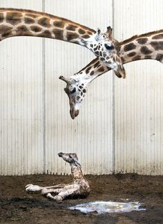 Girafje geboren | Binnenland | Telegraaf.nl