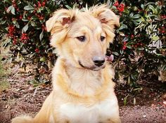 "Il miglior terapista è peloso e ha quattro zampe dice @molly.and.maizie  Quanto è vero! #BauSocial     ""The best therapist has fur and four legs.""      { tags } #dogquoteoftheday #dogquotes #dogquote #dogsofinstagram #dog #dogs #dogsofinsta #dogsofinstaworld #puppy #puppy #red #redberry #redberries  #englishshepherd #englishshepherds #englishshepherdsofinstagram #molly #mollymalone #cane #doglovers #love #instadog"