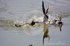 The three frightened mallard, they struggled to take off, flee, graceful, Wetland Park photo taken in Beijing.