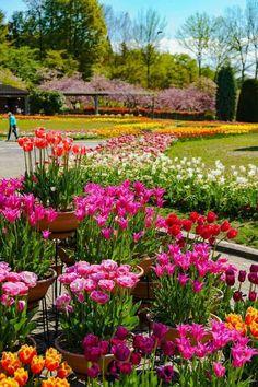 สวยมาก💛💜💙💚 Tulips Flowers, Pretty Flowers, Wild Flowers, Planting Flowers, Garden Bulbs, Shade Garden, Beautiful Roses, Beautiful Gardens, Front Yard Garden Design