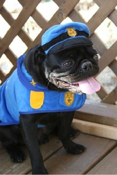 Don't mess with the pug police, man
