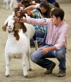 Guinea Pig Care, Guinea Pigs, Pretty Animals, Animals Beautiful, Cabras Boer, Show Goats, Goat Care, Boer Goats, Teacup Pigs