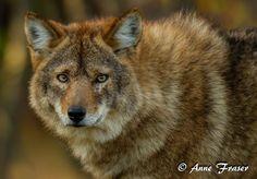 Coyolobo (Coyote + Lobo) Los coyotes y los lobos orientales solo se separaron como especies hace 150.000 – 300.000 años, y los dos son capaces de reproducirse. Los coyolobos resultantes comparten muchas características de comportamiento, y tienen un tamaño entre el coyote y el lobo. (Créditos de la imagen: Anne Marie Fraser / Fuente: wikipedia)