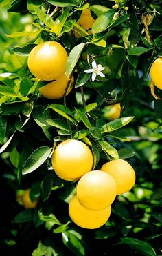 Grapefruit tree: they do bloom and have fruit at the same time