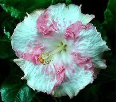 Tropical Hibiscus 'Gina Marie'