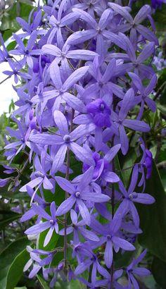 Petrea Volubilis - climber - perennial evergreen plant