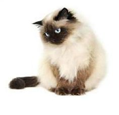 Hottest Free siamese cats himalayan Suggestions Siamese pet cats might be best . - Hottest Free siamese cats himalayan Suggestions Siamese pet cats might be best . Siamese Cats, Cats And Kittens, Ragdoll Cats, Kitty Cats, Persa Cat, Himalayan Kitten, Himalayan Persian Cats, Pedigree Cats, Himalayan