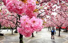 A man cycles under cherry blossoms on a warm and sunny day in downtown Frankfurt, Germany, Monday, April 11, 2011. (AP Photo/Michael Probst) - 11 April, 2011