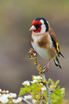European Goldfinch is one of most beautiful bird  -You may like video: https://www.youtube.com/watch?v=EygYGyCcoJ0