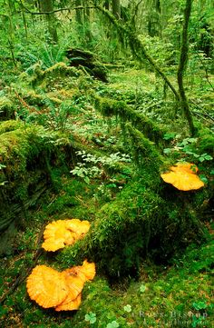 Orange shelf fungus in the Quinault Rain Forest, Olympic National Park, Washington USA