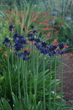 Agapanthus Inapertus Graskop, Dark Agapanthus Garden Design Calimesa, CA