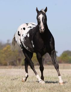 Black Appaloosa Stallion, Just Keep Lukin