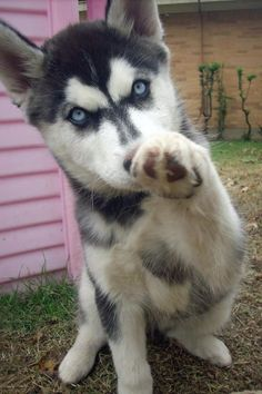 Huskies Pets have more love and compassion in them than most humans. huskies husky dog husky adoption a husky dog a husky puppy husky breeds husky baby husky blue eyes husky colors Tg; Cute Husky Puppies, Rottweiler Puppies, Husky Puppy, Dogs And Puppies, Doggies, Malamute Puppies, Baby Dogs, Baby Animals, Funny Animals