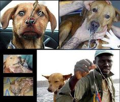 """Fake - False Image Claims: """"In different parts of the world, cats and dogs are used as shark bait."""" - (Has nothing to do with these images)  The top left image is fake and one is just a fisherman with his dog. The bottom left has nothing to do with the topic. The other two are a dog who was deliberately hooked for a video to deceive people. The video(link) is just some fancy editing using several unrelated pieces of film spliced together and some emotional narration."""