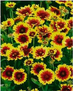90 best heat tolerant plants images on pinterest garden plants perennial gaillardia deer and drought resistant with incredible flower power mightylinksfo