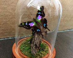 Large glass dome real butterfly taxidermy with by AmouralaMorte Diy Butterfly Decorations, Butterfly Crafts, Butterfly Wings, Butterfly Taxidermy, Bird Taxidermy, The Bell Jar, British Colonial, Nature Decor, Glass Domes