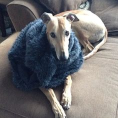 #tanner #greyhound #greyhoundofthrones #handsomeboy #nicefurvest