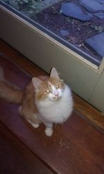 7-15-13 Fluffer (CP) is an adoptable Maine Coon Cat in Woodbury, NJ. This cat is not part of Furrever Friends Rescue and Volunteers group. This is a courtesy posting for an individual not associated with FFRV...