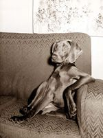 love how humanly weimaraners are