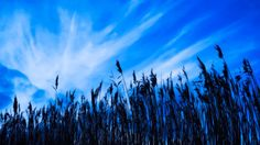 #1640847, Desktop Backgrounds - cornfield backround